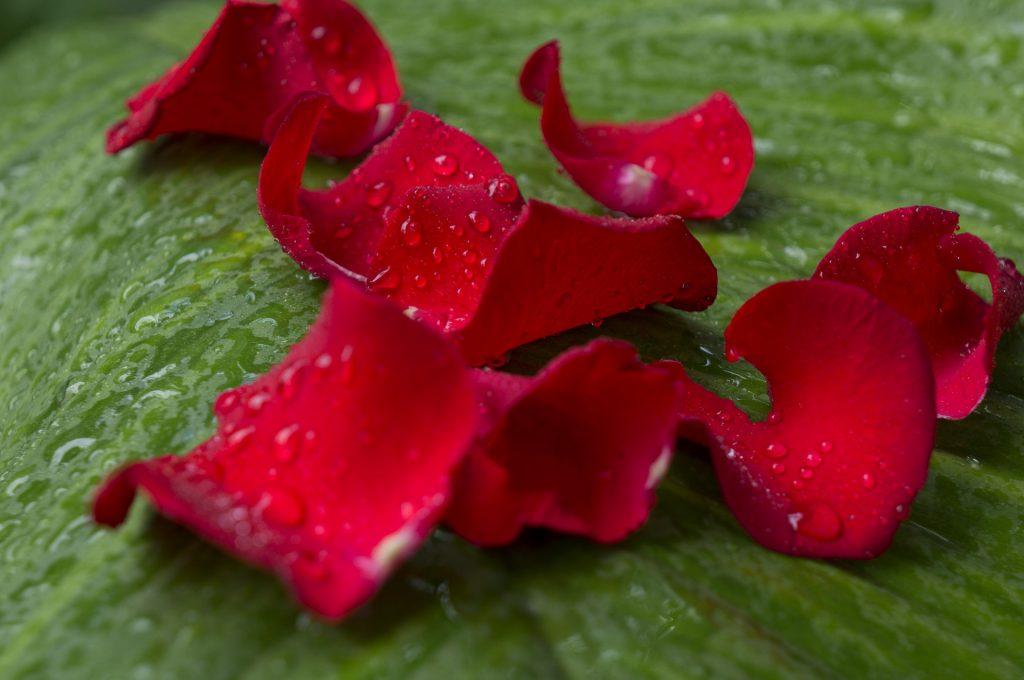 pétalos-de-rosa